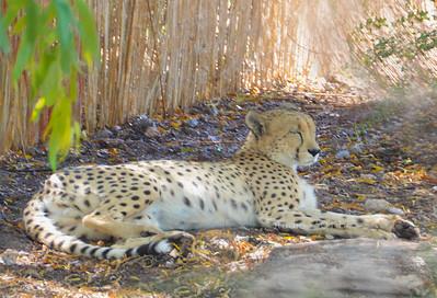 wildcat spots maybe leopard 7953