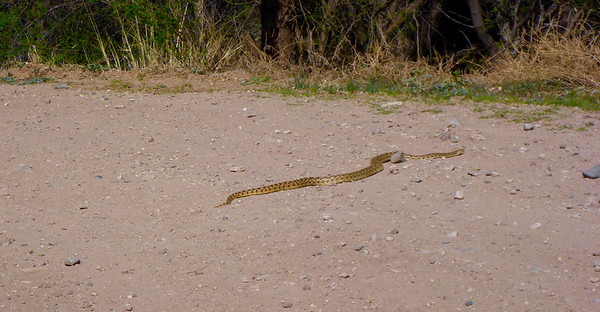 I came around a corner and interrupted this snake's sunbathing.  Within a minute, he/she moved into the brush.