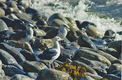 11/16/02 Western Gulls (Larus occidentalis). Abalone Cove Shoreline Park & Ecological Preserve. Portuguese Point, Rancho Palos Verdes, Los Angeles County, CA