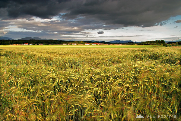 More fields, this time golden wheat fields before a storm.