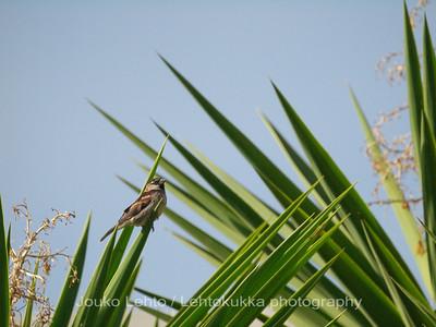 Italian sparrow I