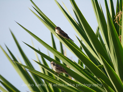 Italian sparrow III
