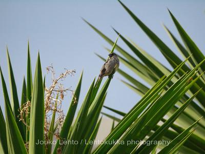 Italian sparrow II