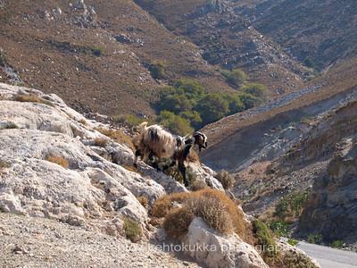 A Goat by the Road
