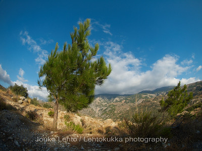 A pine at the mountains