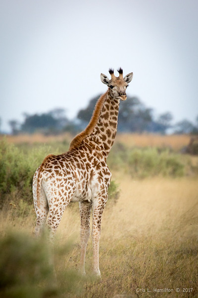 Giraffe small-5041