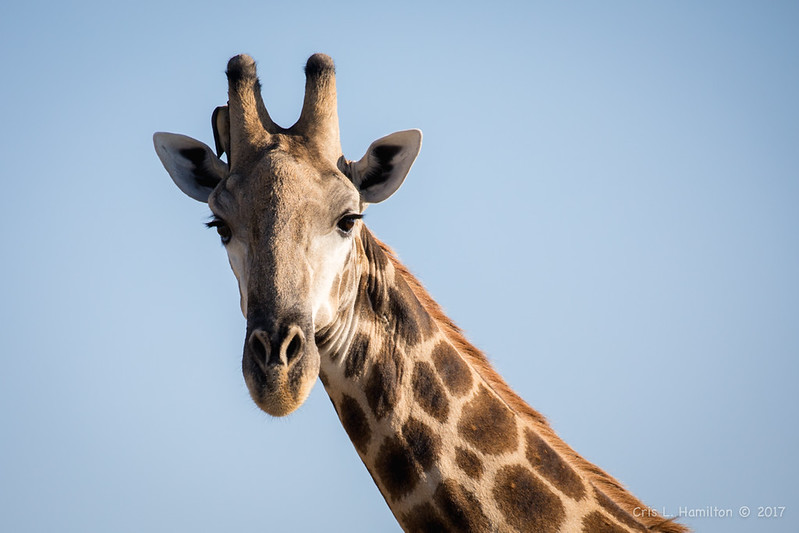 Giraffe w Yellow-billed oxp-1263