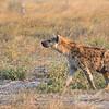 Hyena-0733