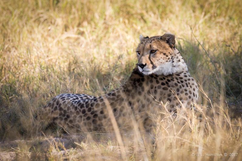 Cheetah-9742-