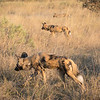 African wild dogs hunting-6398