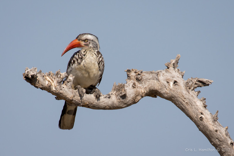 Hornbill, Southern Red-billed-1364