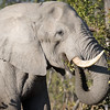 Elephant eat 3-9430