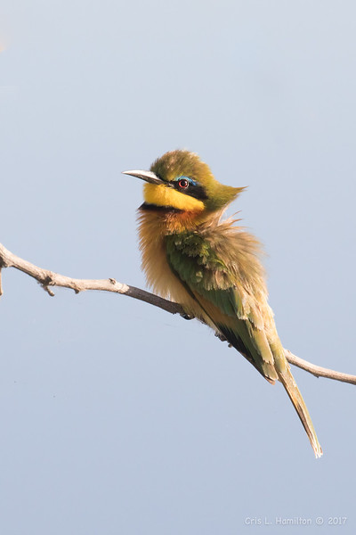 Bee Eater-
