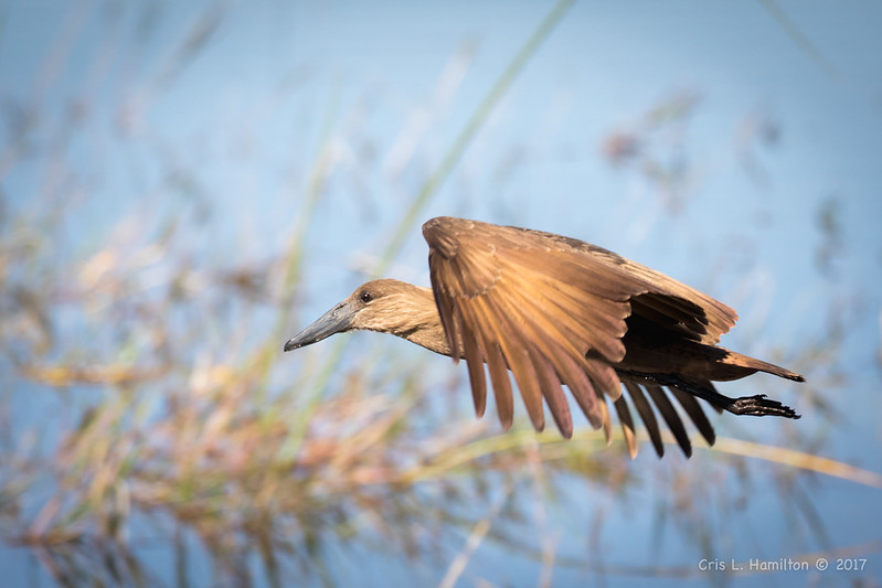 Hamerkop in flight-1709
