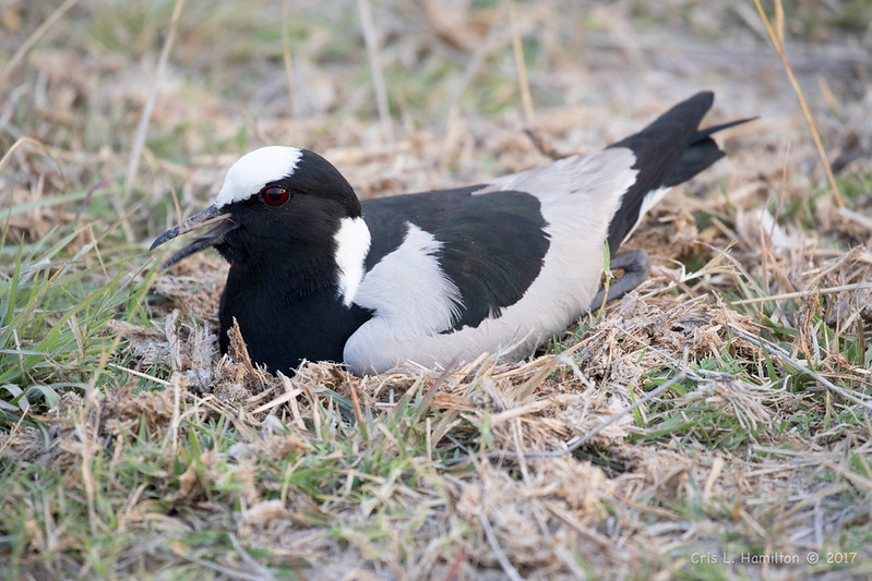 Blacksmith lapwing on nest-9691
