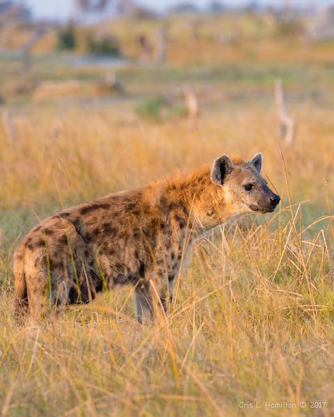 Hyena-0738