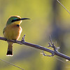 Bee-Eater, Little-1958