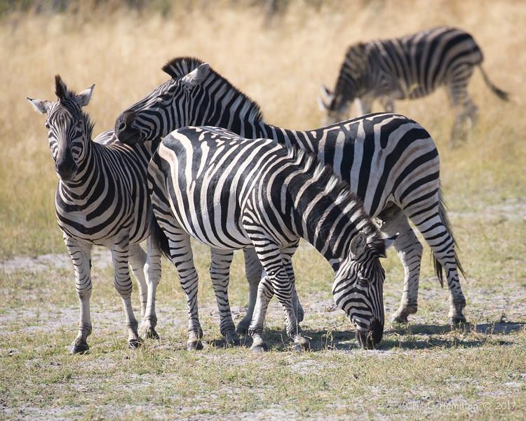 Zebra-0035