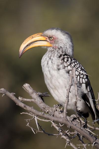 Hornbill, southern Yellow-billed-9527