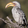 Hornbill, southern Yellow-billed-9527