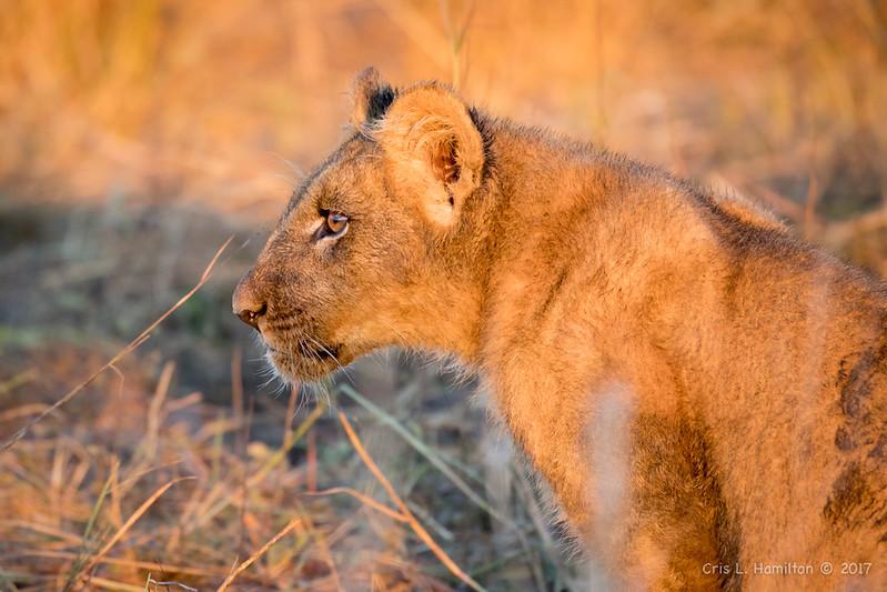 Lion cub nice light 1200-1971
