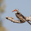 Hornbill, Southern Red-billed-1350