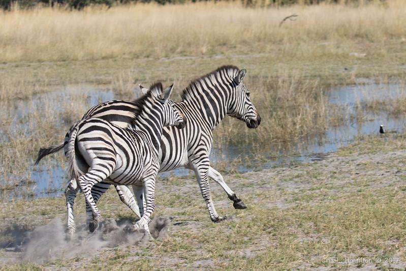 Zebra-0107