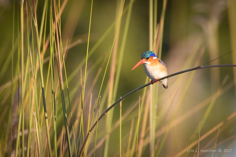Kingfisher, Malachite-2054