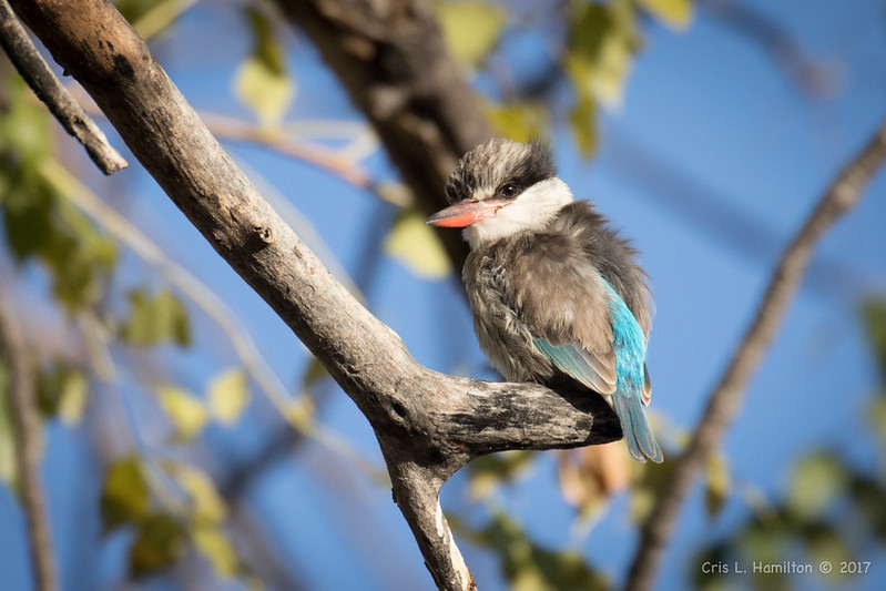 Striped Kingfisher-2807