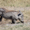Warthogs adult?Horns-1763