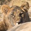 Lion cub 1200-1496