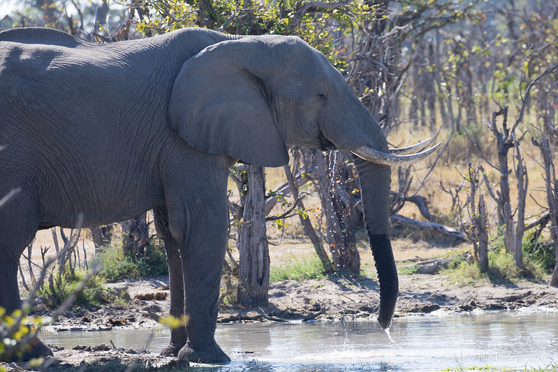 Elephant drink-9941