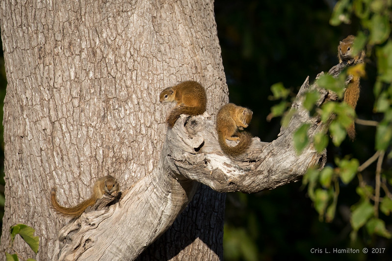 Tree Squirrels-1119