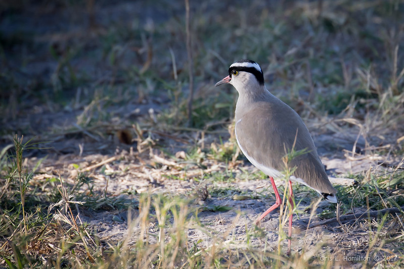 Lapwing-Crowned-1233