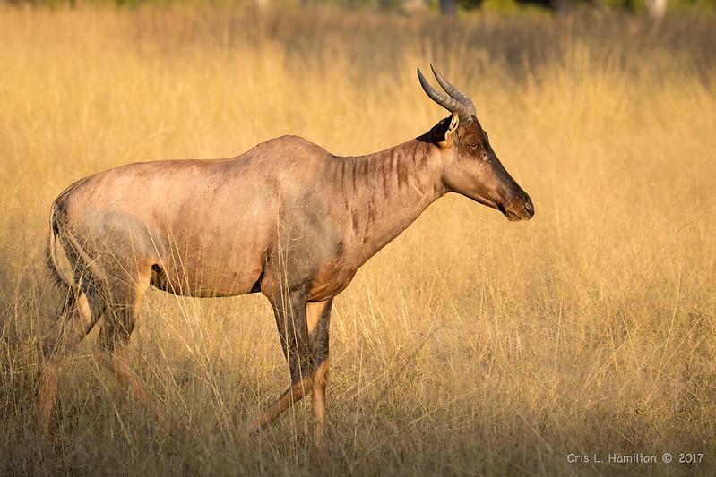Tsessebe-fastest antelope-9007