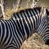 Zebra w_Yellow-billed Oxpecker-1218