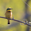 Bee-Eater, Little-1955