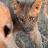 Lion cub dinner 1200-1936