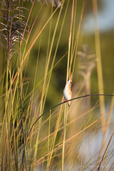 Kingfisher, Malachite head up-2026