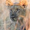 Lion cub feeding 1200-2035