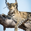 Leopard-4339