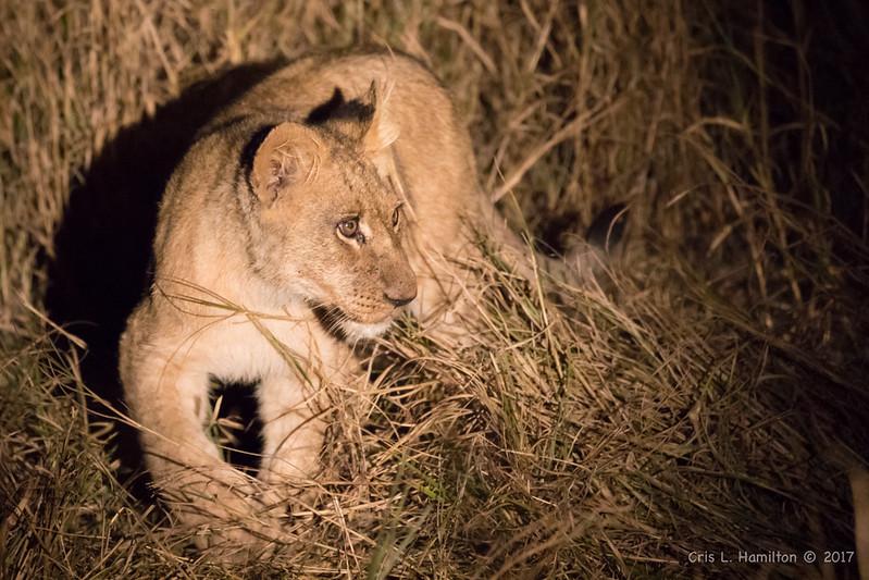 Lion cub night spotting 1200-3673