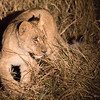Lion cub night spotting 1200-3673