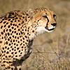 Cheetah-9663-