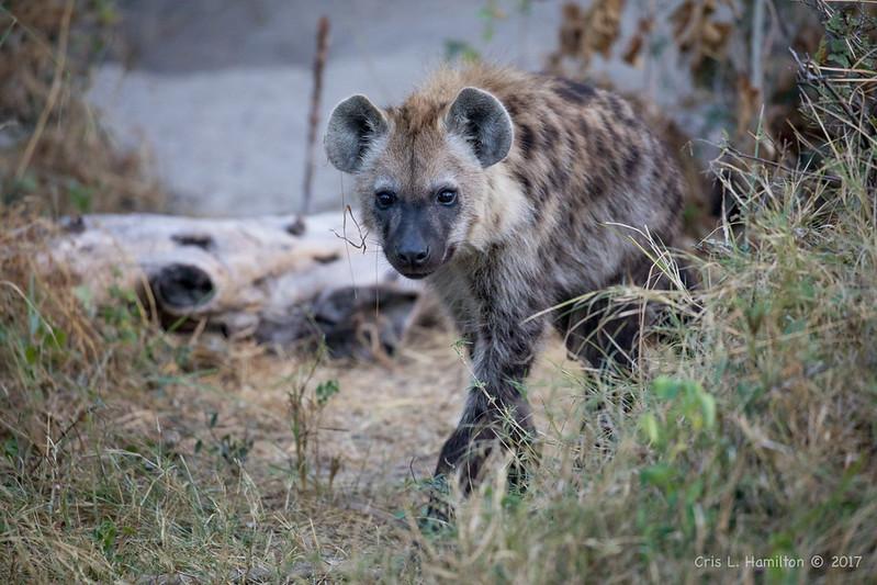 Hyena-2334