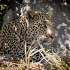 Leopard-4515