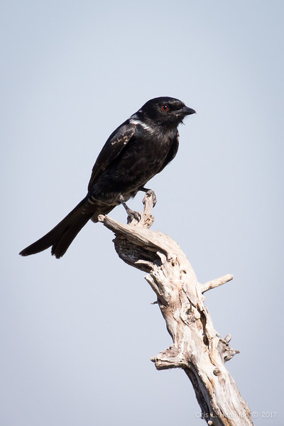 Drongo, Fork-tailed-1724