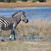 Zebra-0093