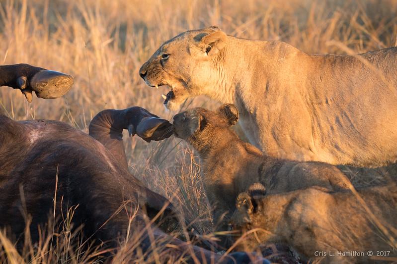 Lion cubs w_Mom feeding 1200-2016