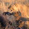 Lion cubs w_Mom feeding 1200-2016